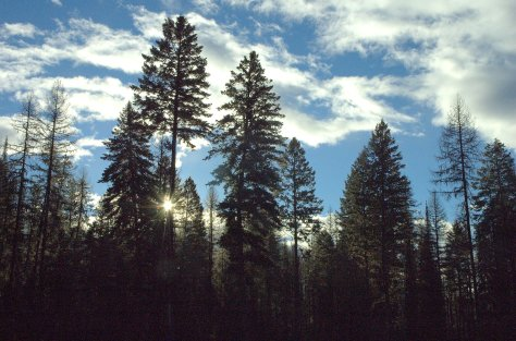 Tall Trees, Blue Sky with Sun Star