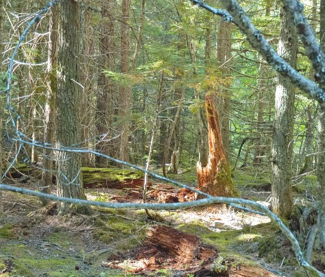 Forest Stump, Trail of the Cedars
