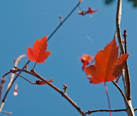 Red Maple Leaf, Sculpture in the Blue Sky