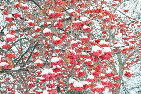Mountain Ash, Berries, Snow, Fill the Frame