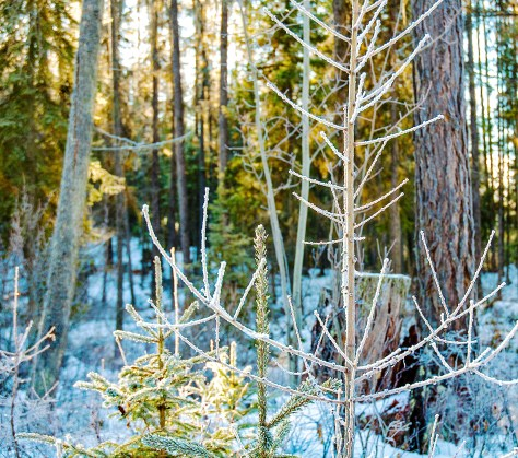 Sparkling Trees in Forest, Frost, Home, Winter