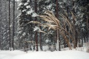 Grasses, Snow, Trees