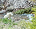 Mountain Goat, Stream, Looking Up, Goat Lick, Spring