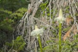 Bear Grass, Two New Blooms, June, Many Glacier