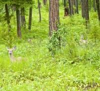 Deer in the Woods, Spring