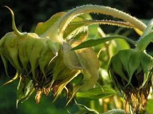 Sunflower, Full