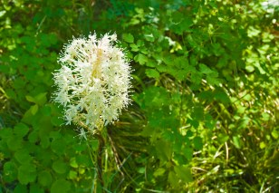 Bear Grass Single, Full Bloom