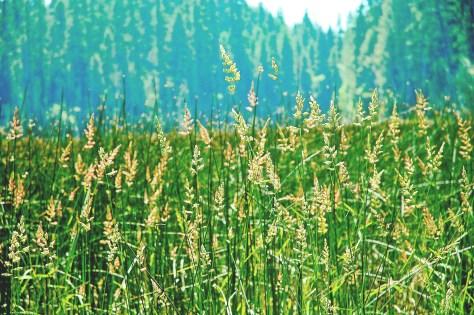 Grasses copy