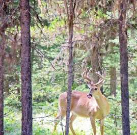Bowman Lake, Deer in the Woods 1