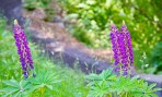 Columbia River Gorge, Purple Flowers 2