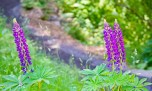 Columbia River Gorge, Purple Flowers 2