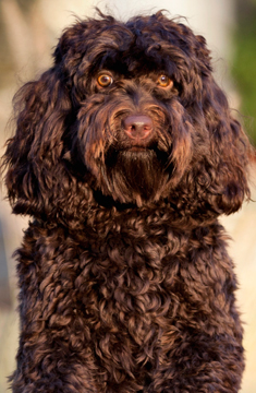 Sweet Carolina Labradoodle - Daphe blog