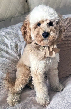 Lucy - Labradoodle