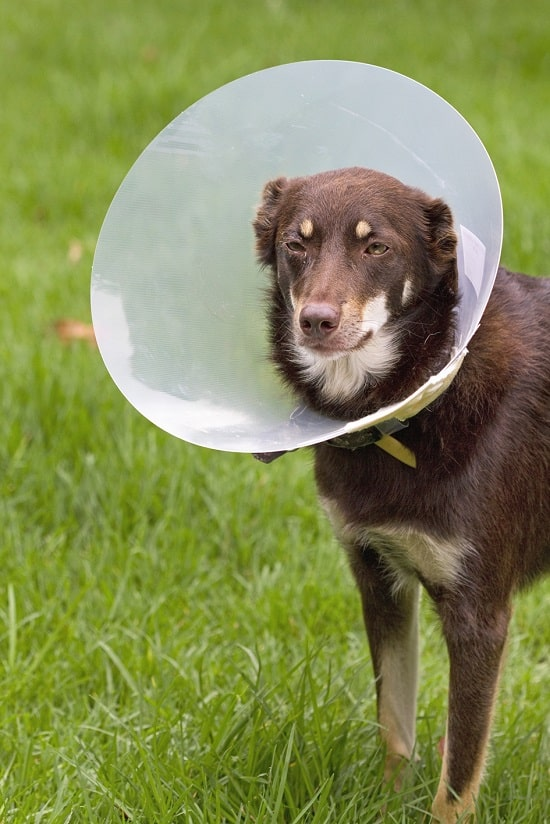 cone to prevent dog from scratching