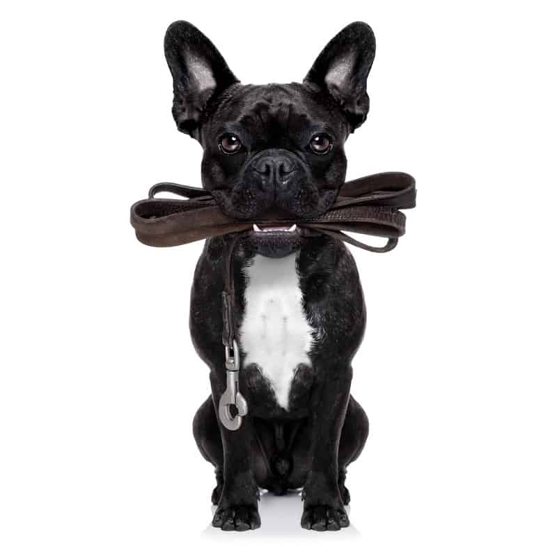 french bulldog wants to go for a walk