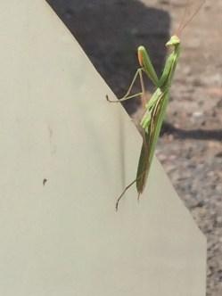 Praying mantis female on the press.