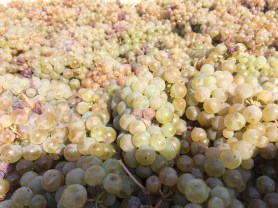 Clusters of Riesling grapes.