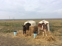 Wagyu calf and Jersey calf at the Stanfield Hutterian Brothers in Oregon.