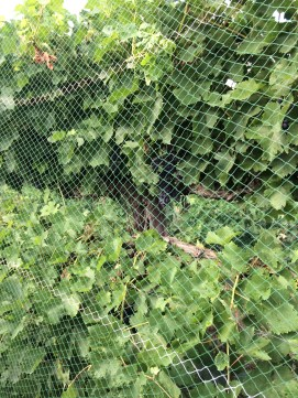 Netting to protect the most delicious fruit from marauding birds.