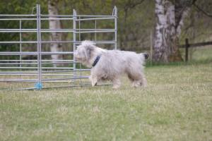 Jac håller kol på fåren från utsidan av fållan