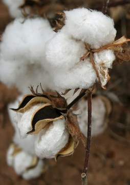a cotton boll (credit: Calsidyrose via Flickr)