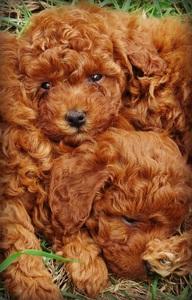 Toy Poodles For Sale In Richmond Va : poodles, richmond, Sweet, Honey, Poodles