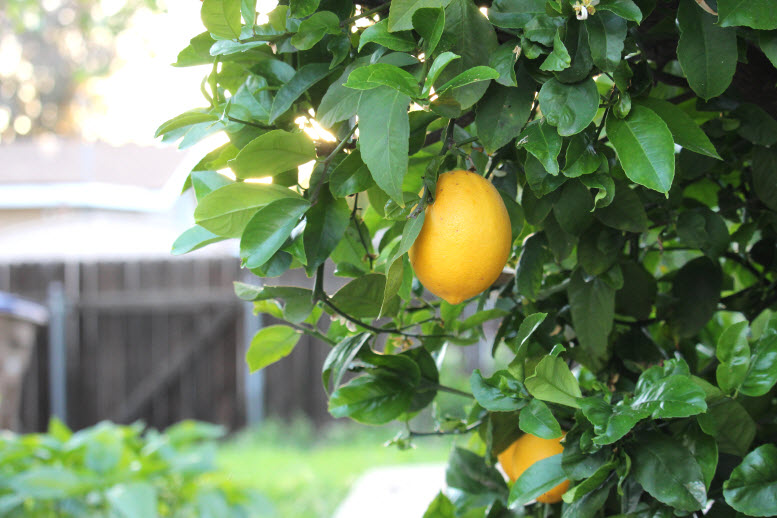 Meyers Lemon Photo at Sweetie Pie and Cupcakes Garden