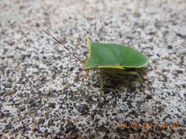 Beetle Jamaica head