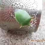 Beetle Jamaica