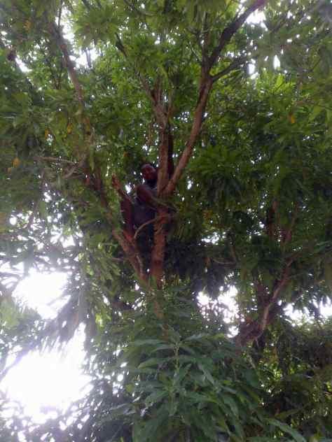 East Indian Mango Tree Climber