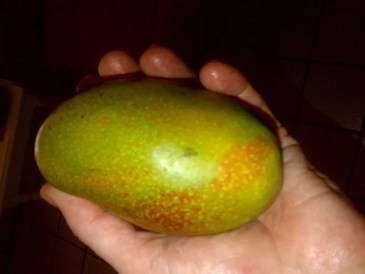 Mangoes in Jamaica
