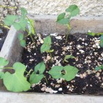 Pepper Seeds Planted 11 March 2014