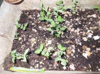Garden Peas 20 MAR 2014