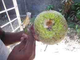 Remove the Breadfruit Stalk