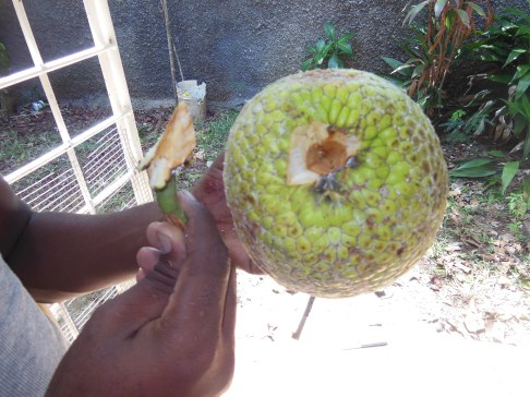 Remove the Breadfruit Stalk