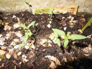Tomato Seedlings 20 MAR 2014