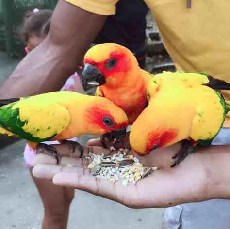 Bright Parrots in Jamaica