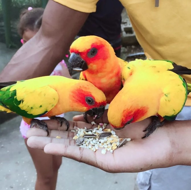 Bright Parrots in Jamaica