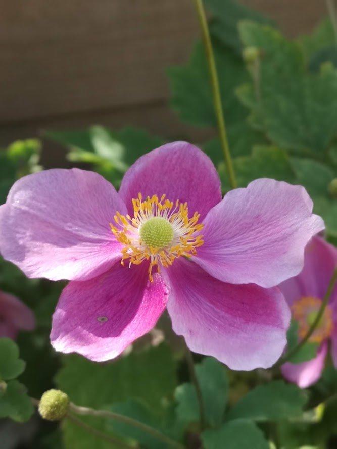 Japanese Anemone Serenade