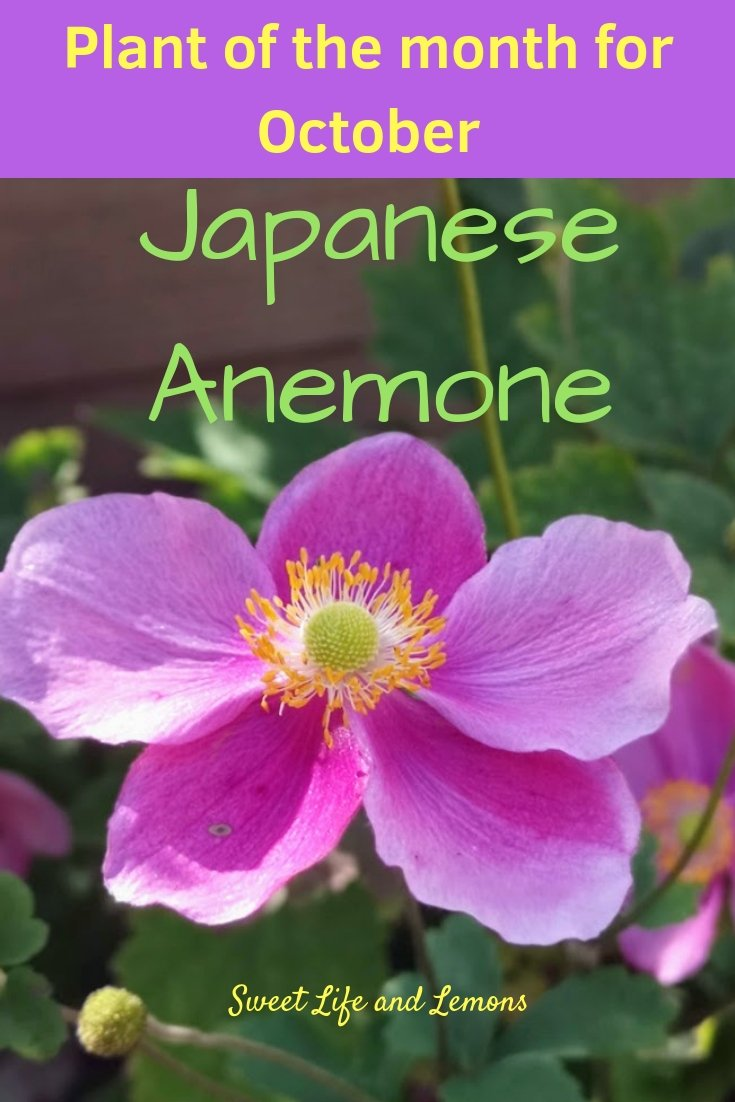 Plant of the month October Japanese Anemone