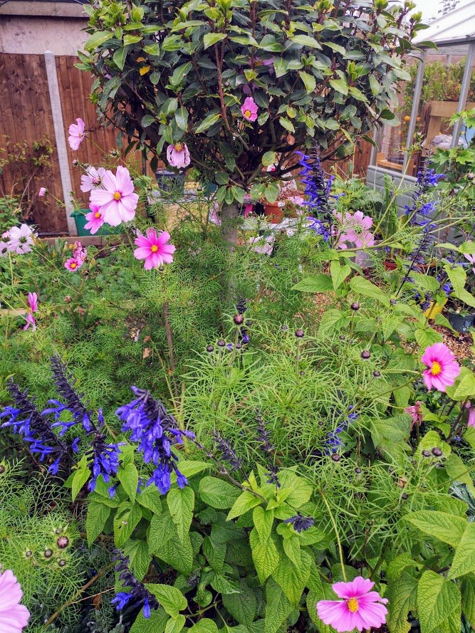 Salvia and Cosmos