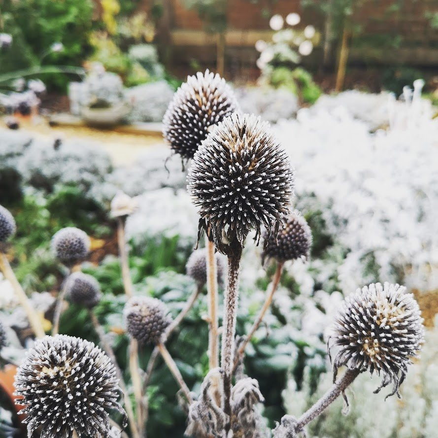 Echinacea in frost