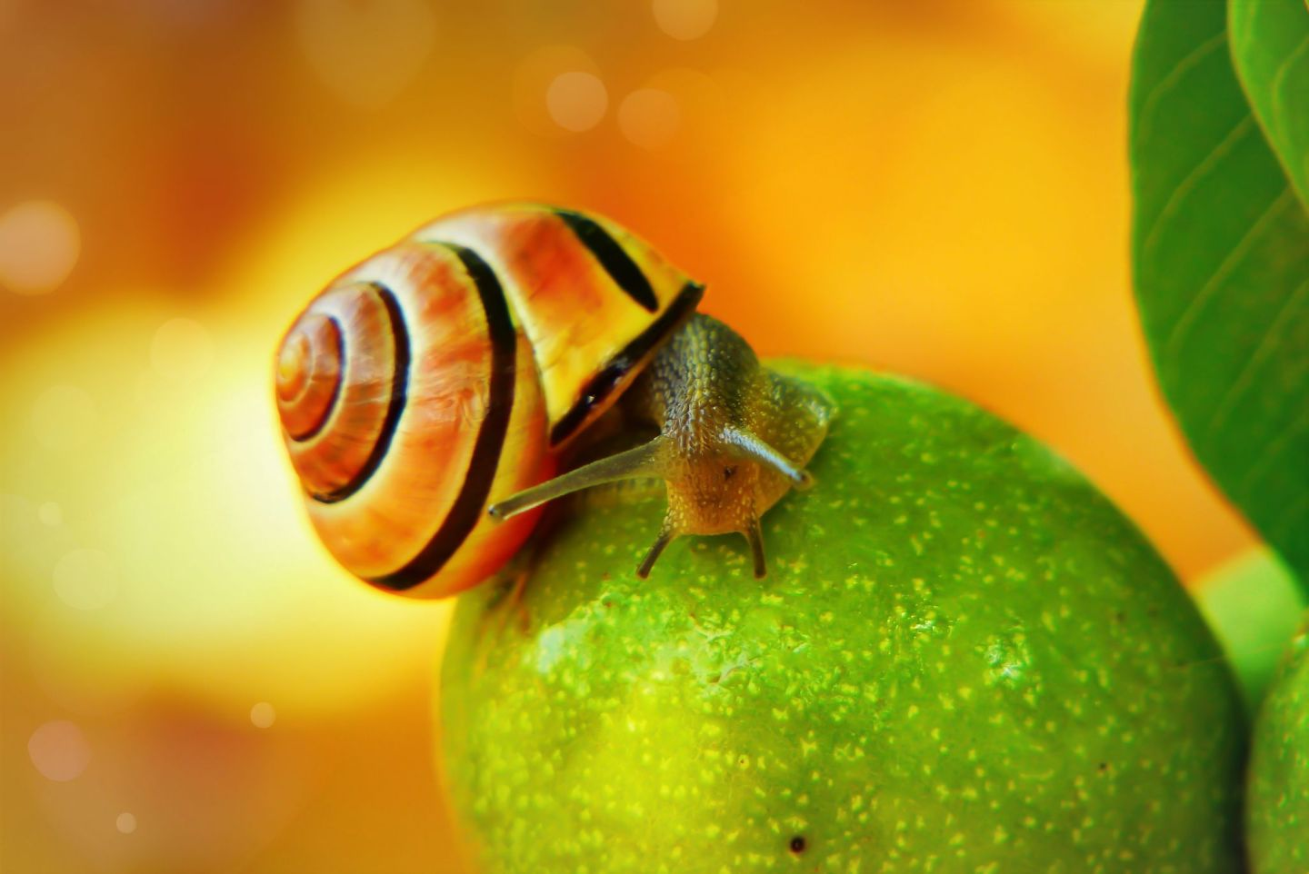 snail on apple