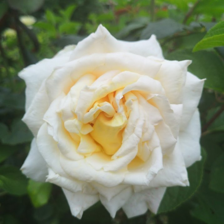 Rose Sherwood Forest