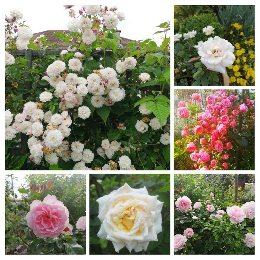 combination of roses