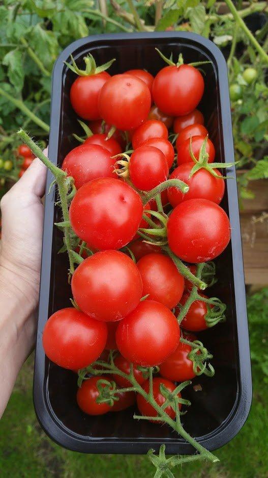 tomato crop