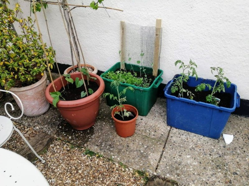 beans and peas in pots