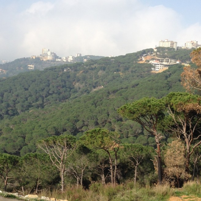 Pine forests of Lebanon