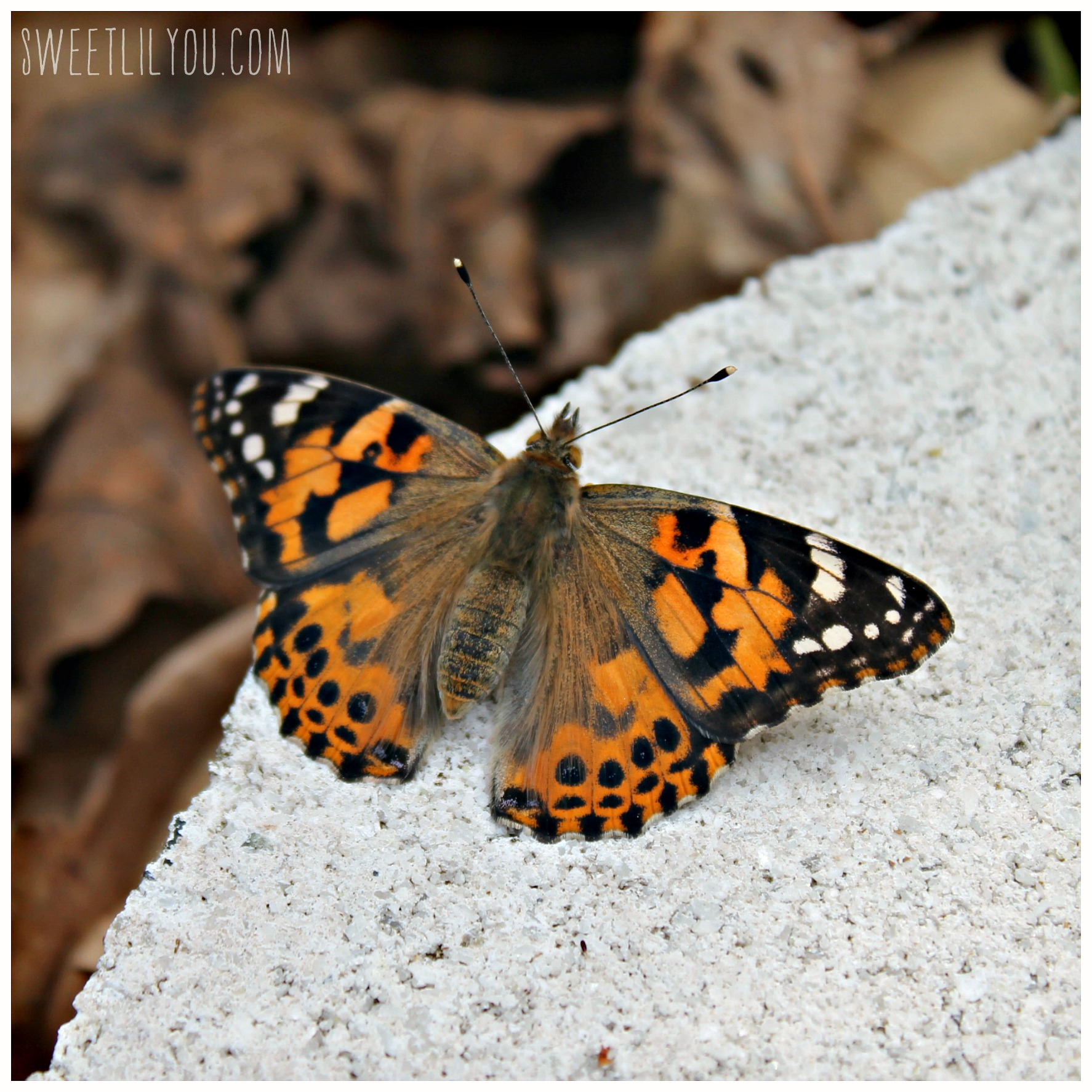 Butterfly Insect Lore Actual Coupons