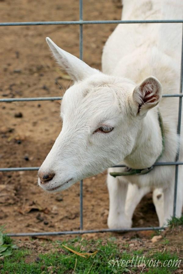Kneeling Goat